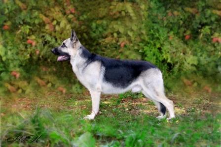 восточноевропейская овчарка из питомника