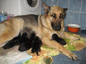 восточноевропейская овчарка со щенками