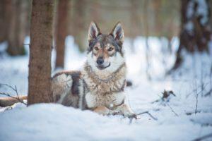 влчак из питомника