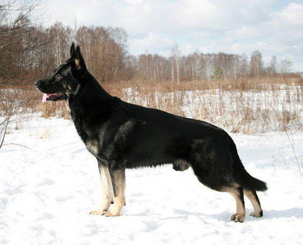 Овчарка чёрноподпалого окраса из питомника