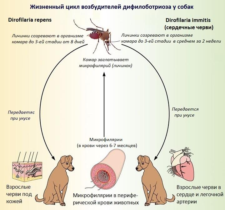 Цикл дирофиляриоза