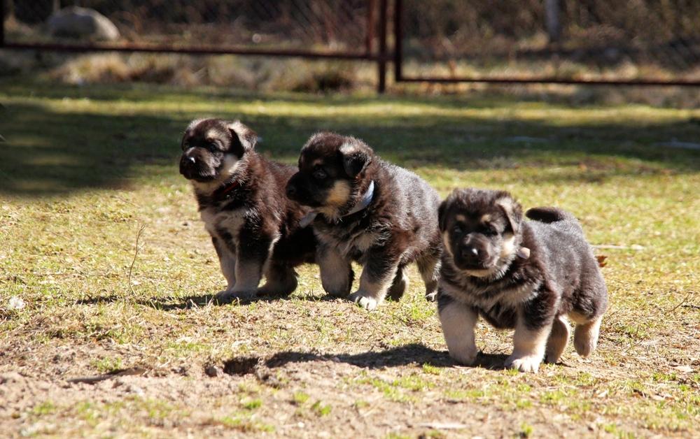щенки восточники