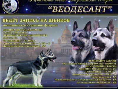 восточноевропейская овчарка Из Невского Десанта